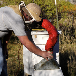 treating honey bees for varroa mites