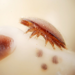 female varroa mite
